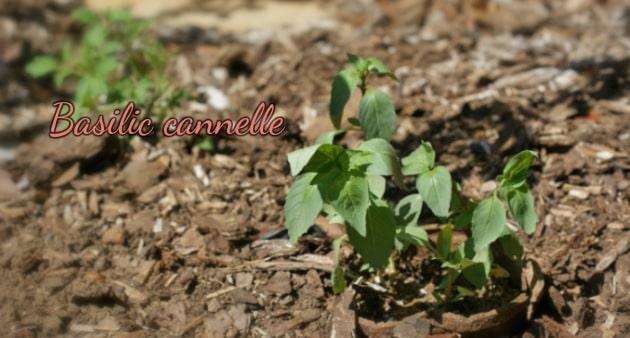 Plantes aromatiques basilic cannelle-Feuille de choux